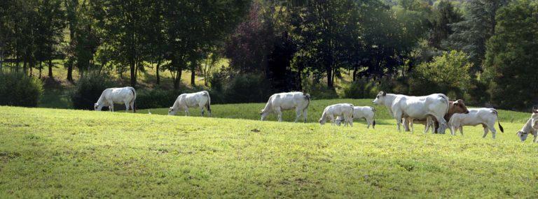 Pietmontse runderen Cascina Stella