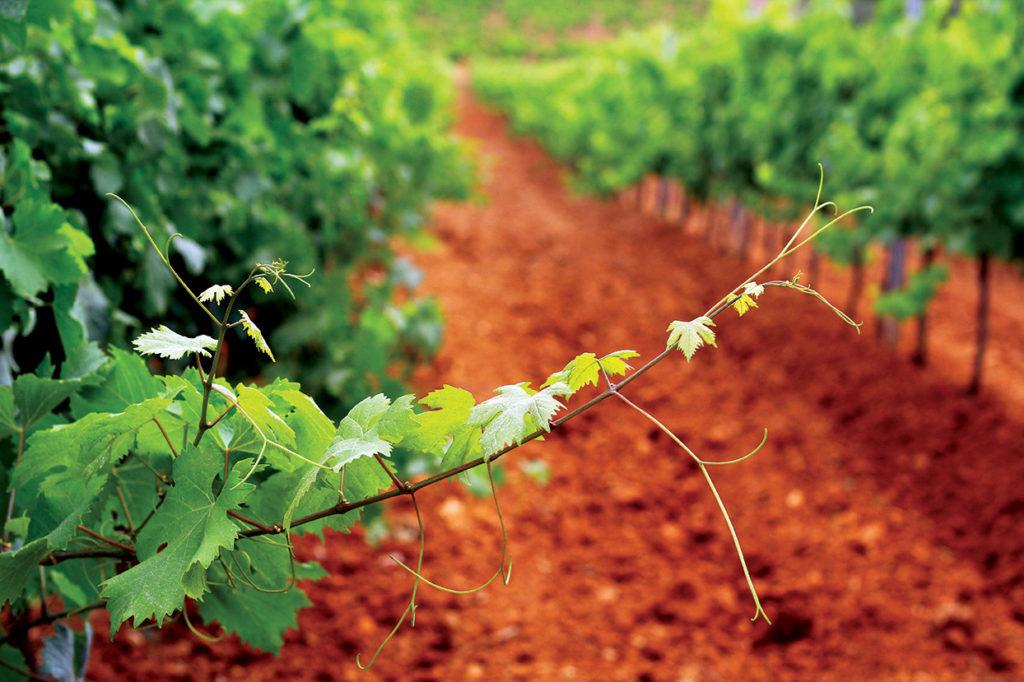 San Marzano wijngaard